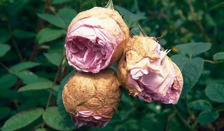 Parazita gyógymód rózsákban, Gyógymód a rózsa parazitái számára