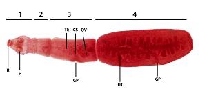 Az echinococcus parazita giardia kat medicijnen