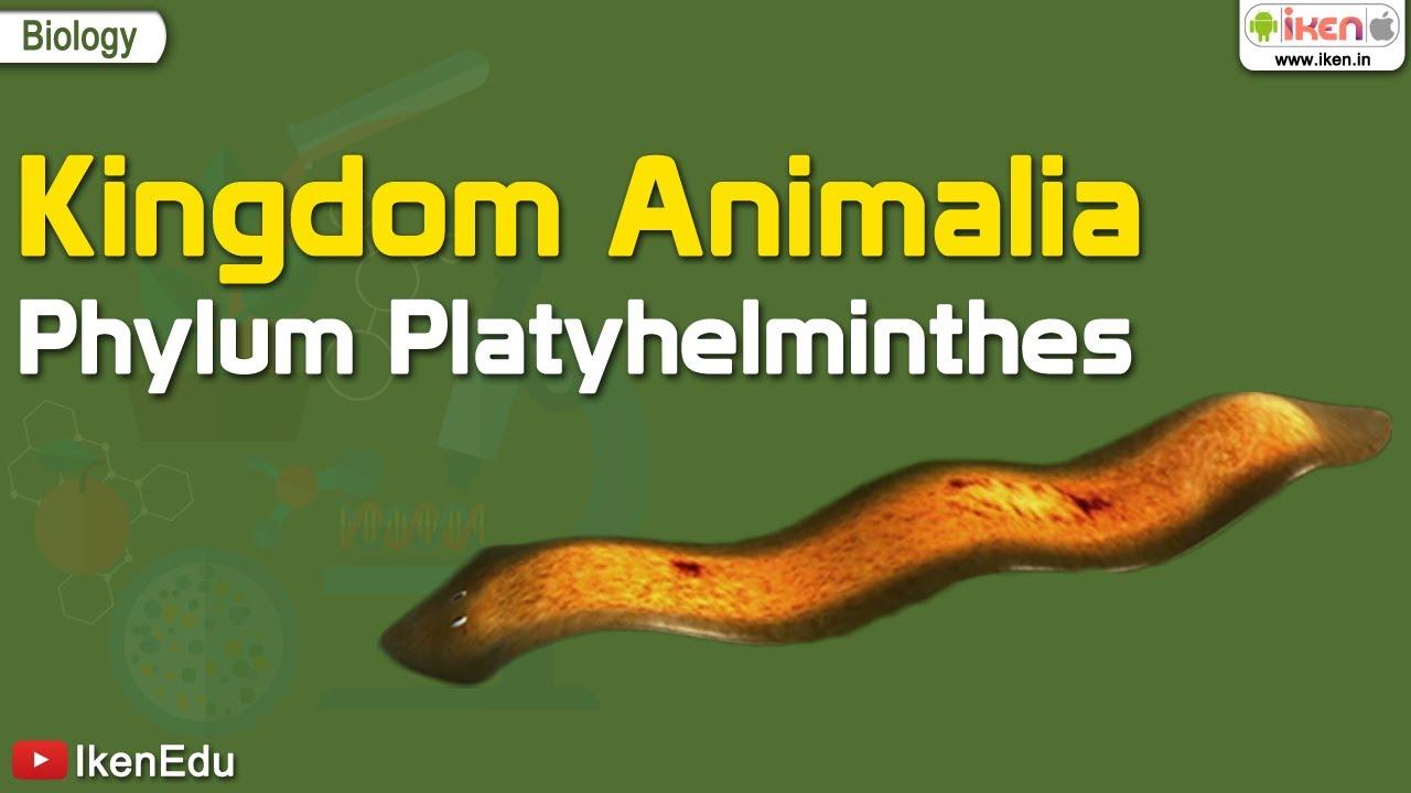 Platyhelminthes 3 osztály Örvényférgek – Wikipédia