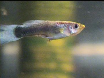 fonalféreg hal)