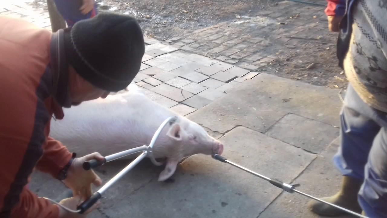 Diszno fereghajto, SertésÁLLATGYÓGYSZEREK - Állateledel - felszerelés - állatgyógyszer