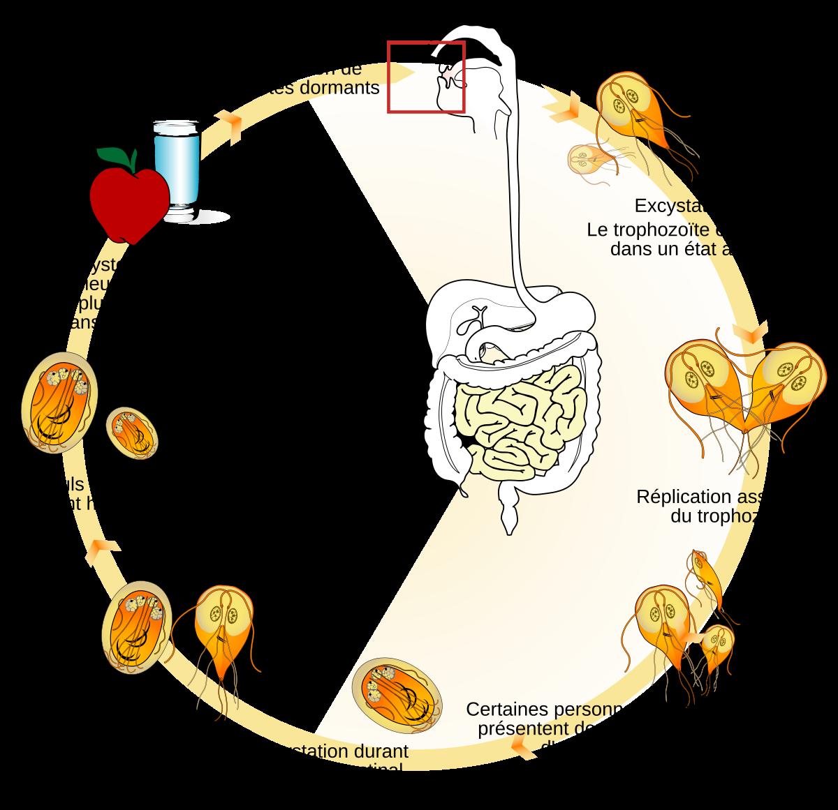 Giardia-fertőzés (giardiasis) Férgek emberben a lamblia tünetei, A lamblia és a paraziták tünetei