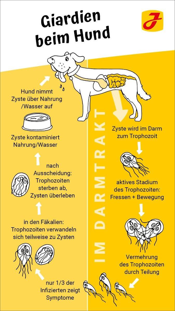 Giardien bei katzen symptome