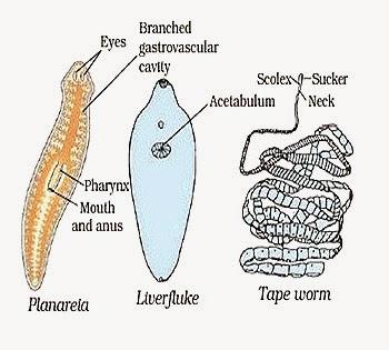 anatómia a mangány platyhelminthes