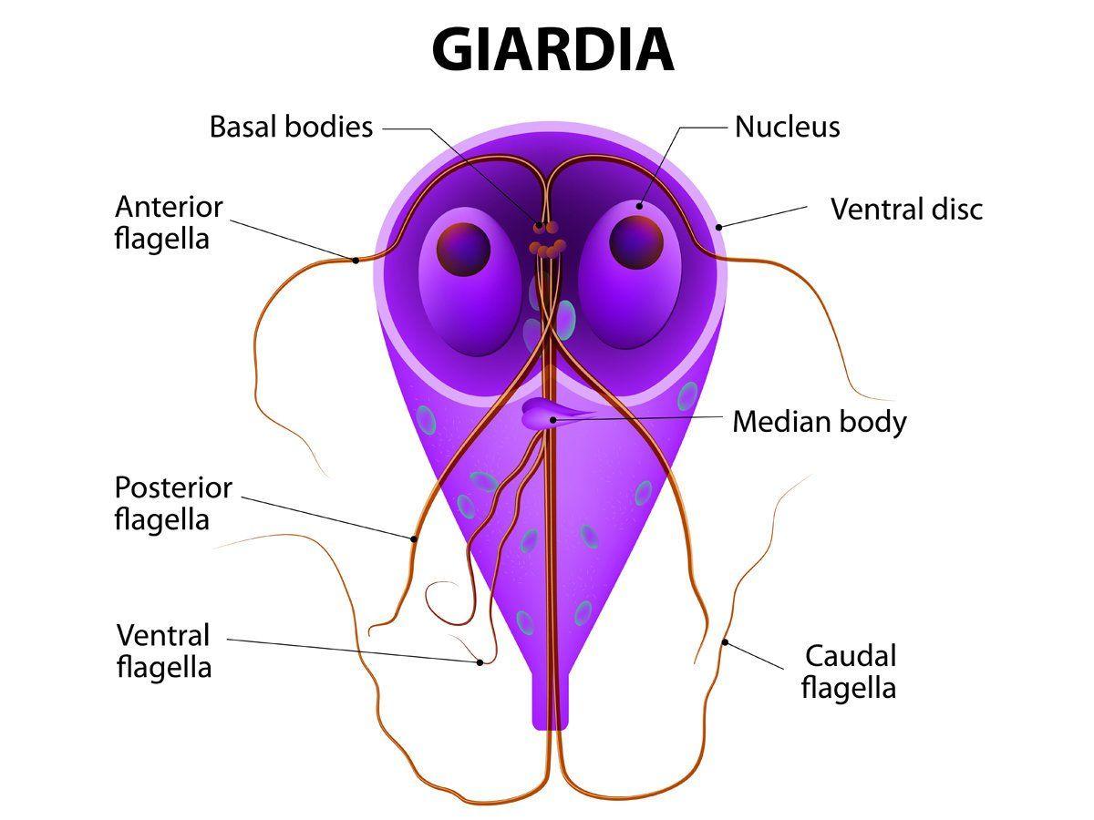 hogyan nyilvánul meg a giardiasis az emberekben