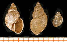 fascioliasis a fertőzés terjedése)