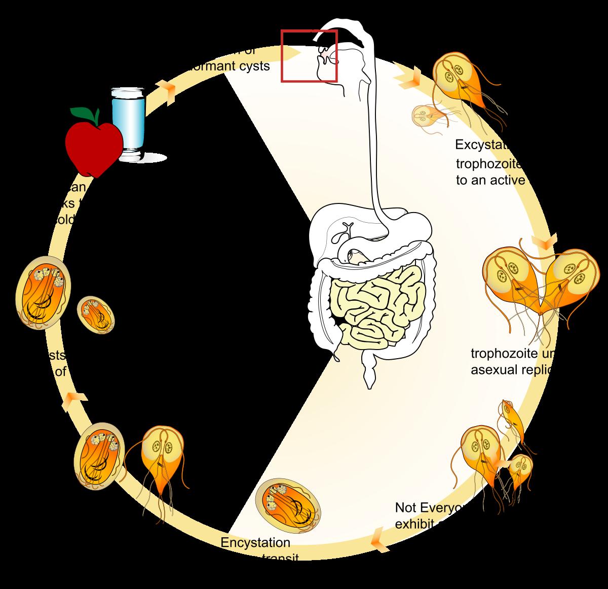 A legegyszerűbb betegséget okozó giardiasis. Giardiasis tünetei és kezelése - HáziPatika