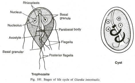 Élet parazita tabletták nélkül - T Humaan papillomavírus
