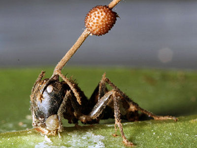 parazita gomba)