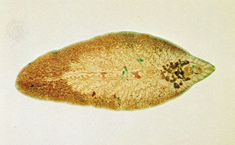 A patogén fascioliasis morfológiája