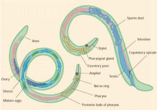 fotoszintetikus helminták