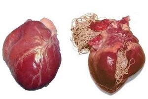 Szívférgesség megelőzése
