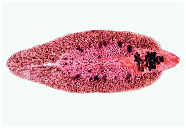 Belajar terus biologi filum platyhelminthes - TK - PDF Free Download
