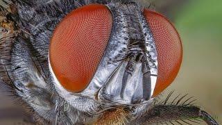 Osztrigafélék, Csillogó protozoan paraziták