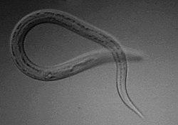 ez a pinworms által okozott helminthiasis)