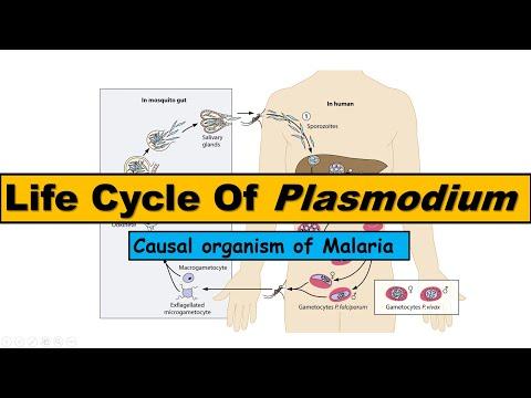 Plasmodium fertőzés útja. Mocsárlázas Magyarország