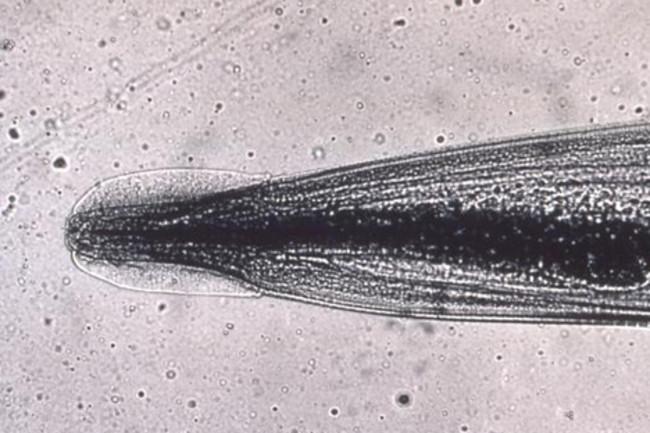 szaporító pinworms)