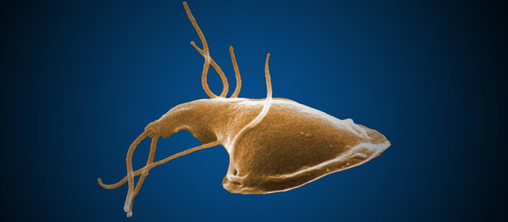 Giardia parasite how long does it last. április « « Hungarovet