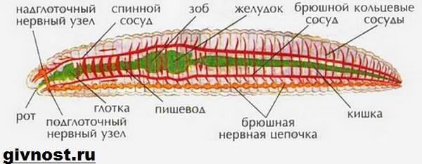 az emberi körférgek fejlődésének diagramja