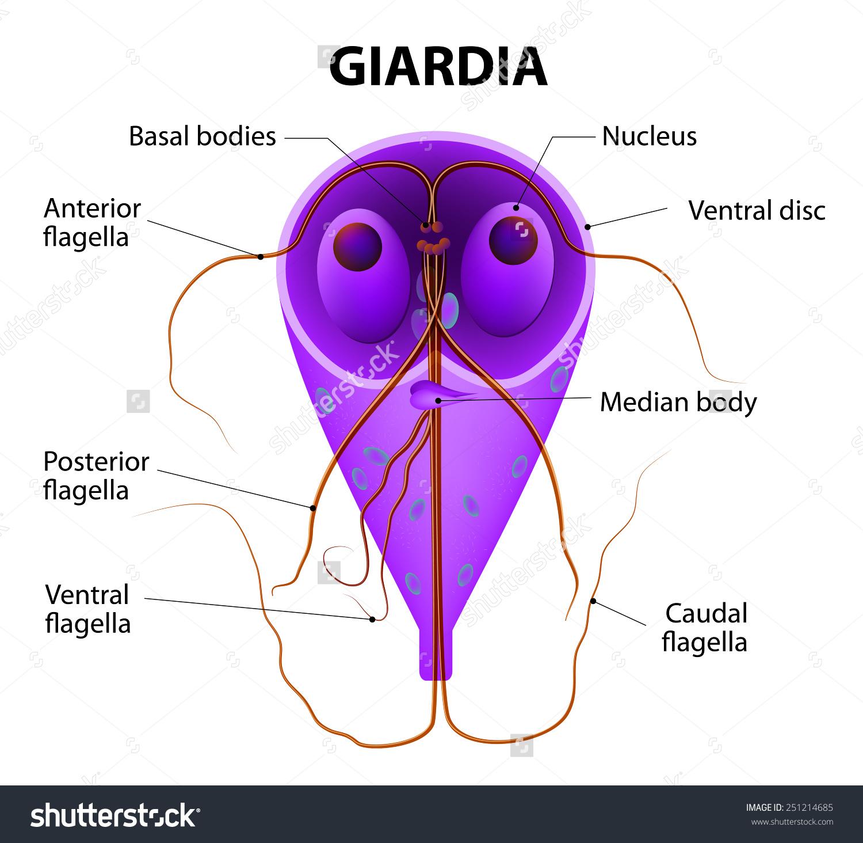 gyógyszerek a giardia és más paraziták ellen