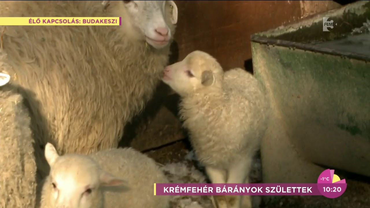 A férgek széles köre ellen - Bárányok féregmegmunkálása bármilyen kortól kezdve
