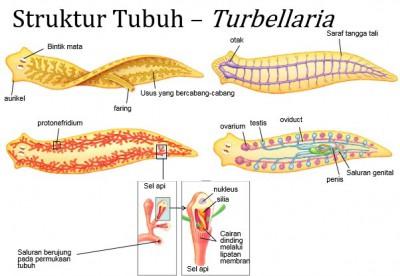 platyhelminthes kelas turbellaria