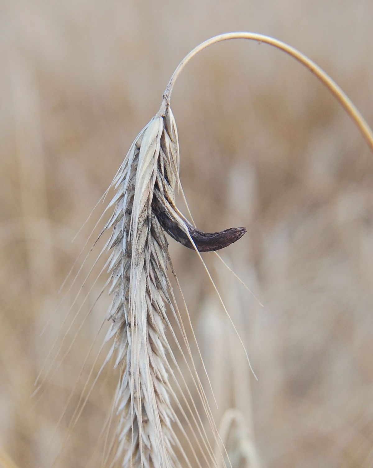 Anyarozs vagy varjúköröm (Claviceps purpurea) | Körinfo Ergot parazita