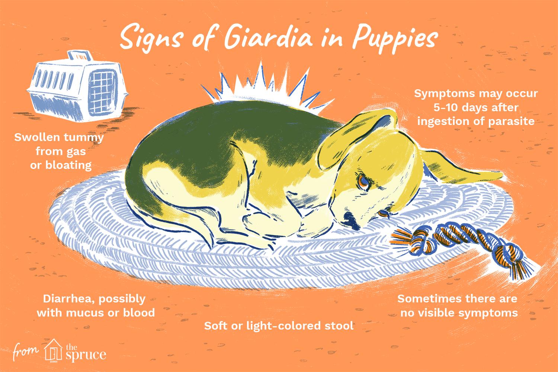 Giardia with no diarrhea, Giardiasis