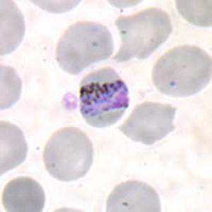 a malária plazmodium aszexuális reprodukciója