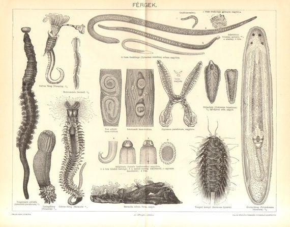 platyhelminth férgek széles szalaggal