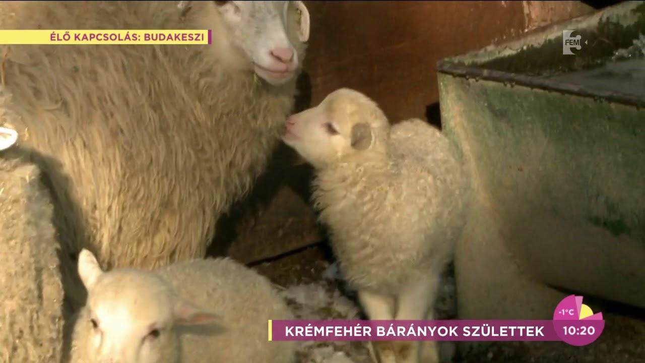 bárányok féregmegmunkálása bármilyen kortól kezdve