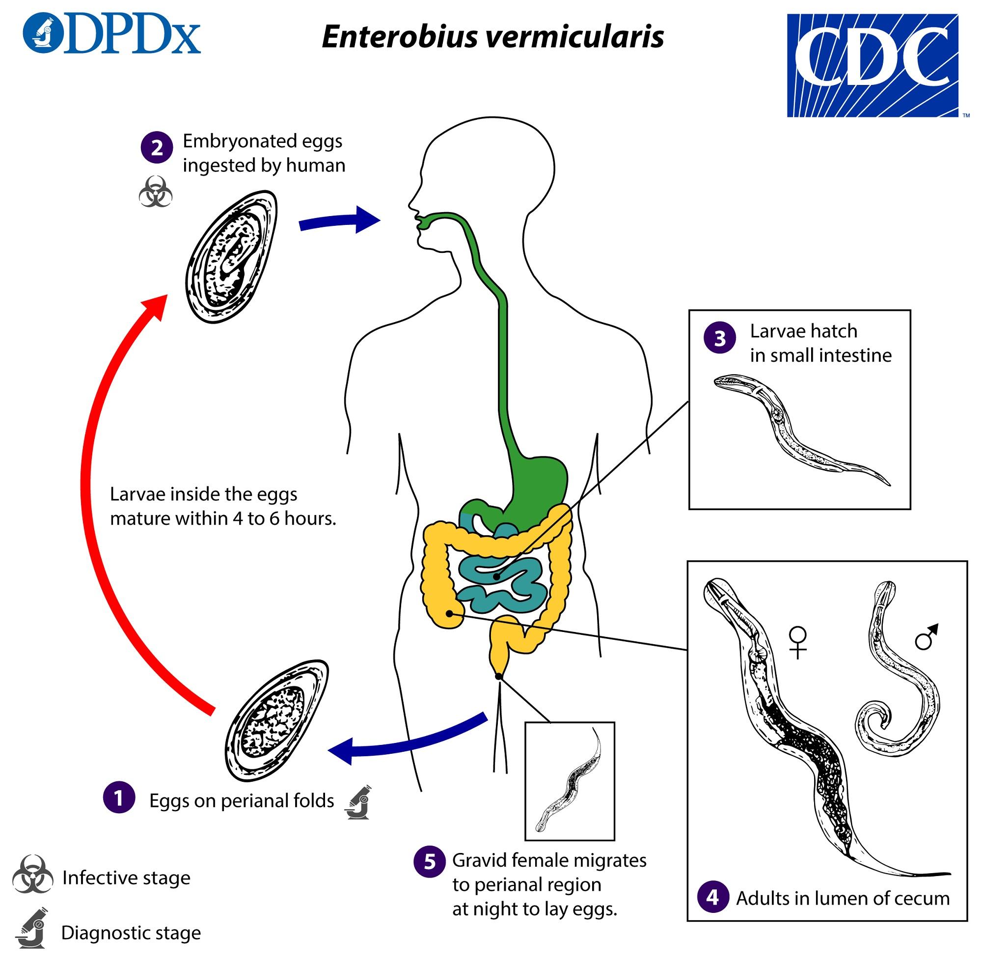 Életciklus-elemzés, A pinworm életciklusa röviden - A pinworm életciklusa