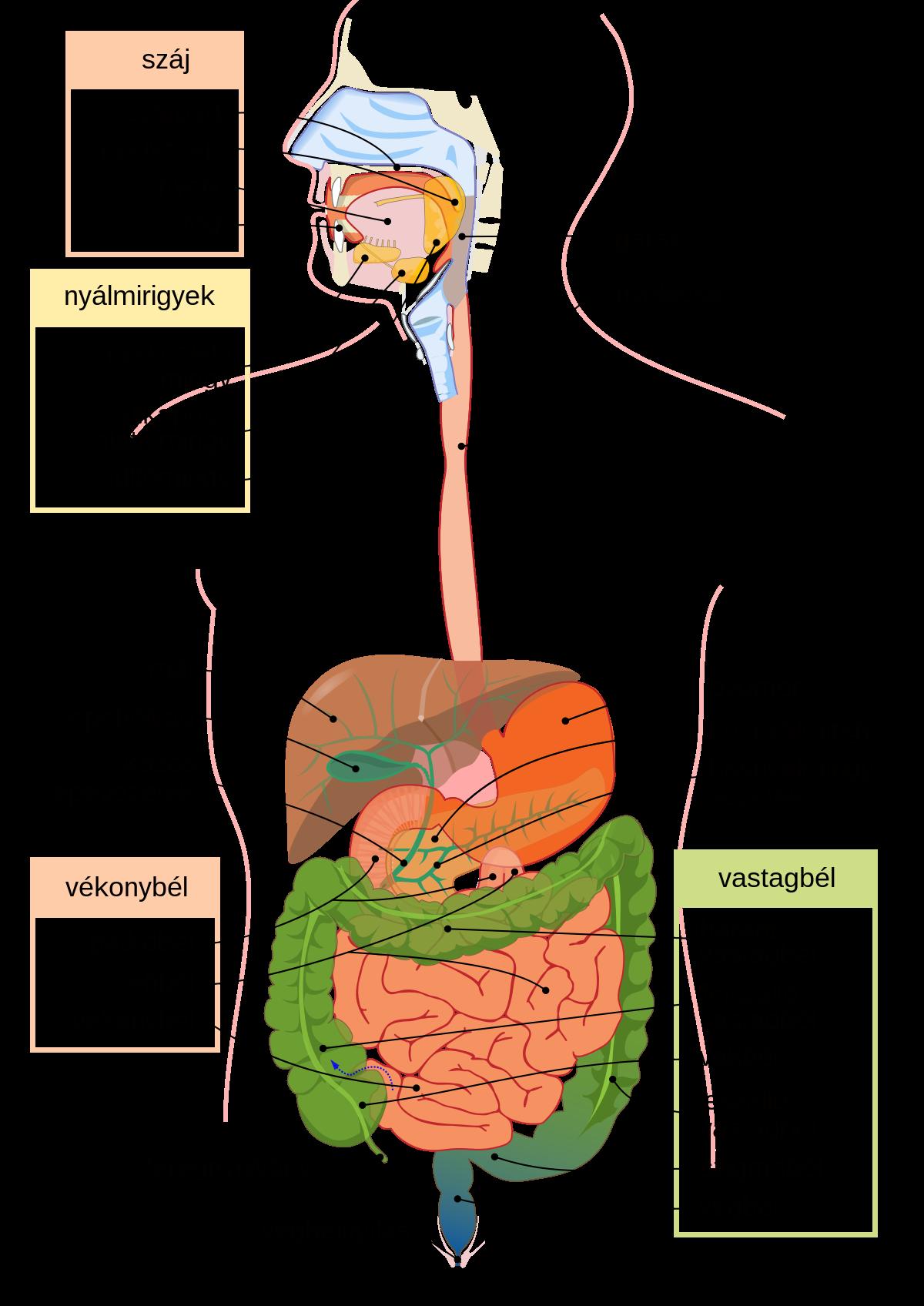 paraziták a gyomorban és a belekben)