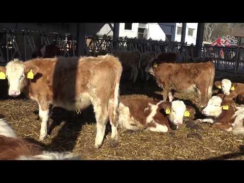 parazita gyógyszerek szarvasmarhák számára feregnyulvany daganat