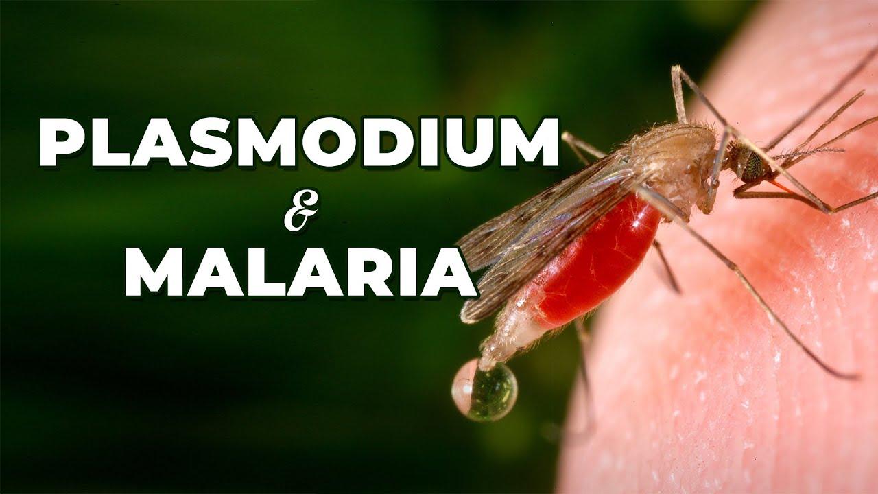 a malária plazmodium közbenső gazdaszervezete