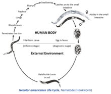 a helminthiasis patogenezise)