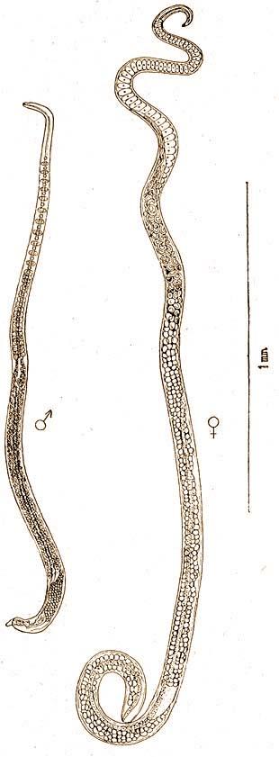 A trichinella fonálférgek