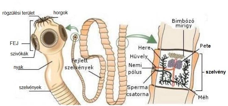 platyhelminthes planaria coelomikus üreg)