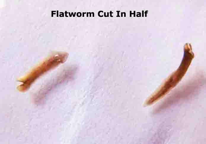 platyhelminthes planaria coelomikus üreg férgek kezelése terhesség alatt népi gyógyszerekkel
