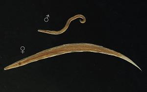 Rizs az enterobiasis kezelésében A gyermek enterobiasis vizsgálatára szolgáló technika
