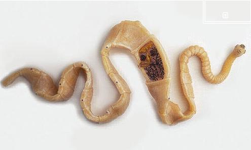 filo aschelminthes)