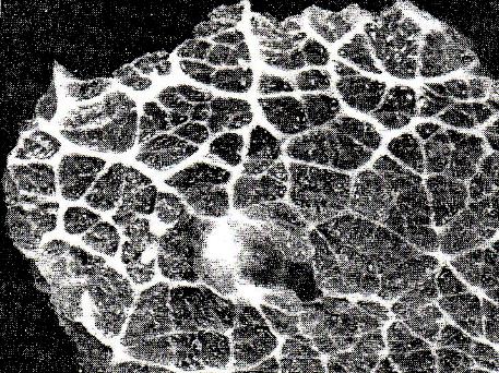 szarvasmarha szalagféreg parazitológia