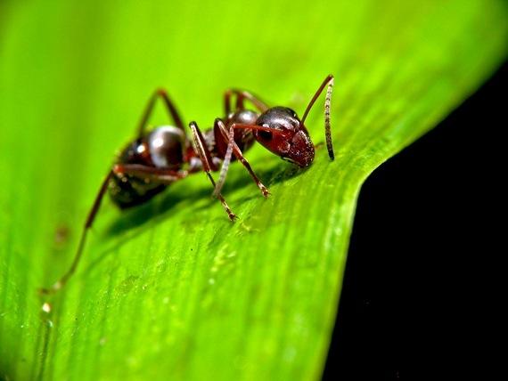 hangya hangyák