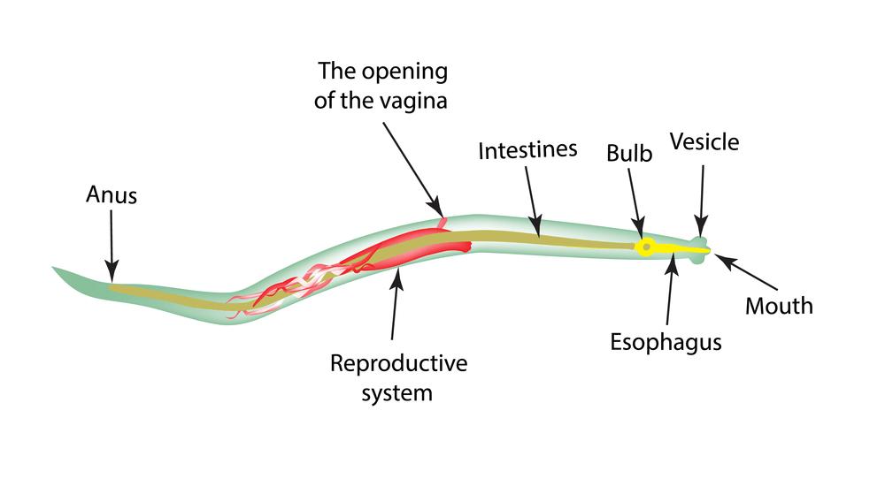 Pinworm diagram, Pinworms életciklus- diagram
