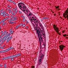 a malária plazmodium hatásmechanizmusa