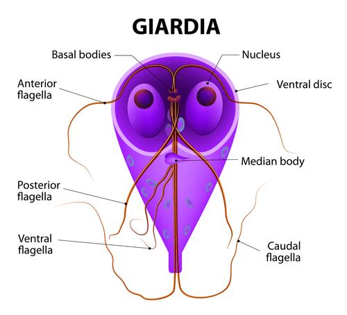 Giardiosis - EgészségKalauz
