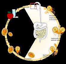 giardiasis mikrobiológia