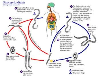 helminthiasis és enterobiasis a legbiztonságosabb gyógyszer férgek számára