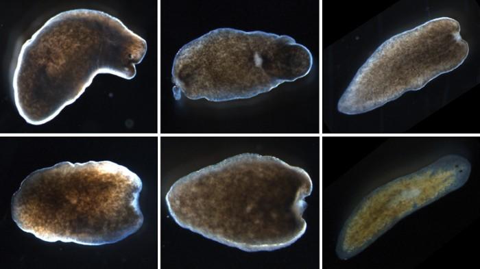 Jellemzők a platyhelminthes szaporodás Miért hívják őket galandférgeknek?