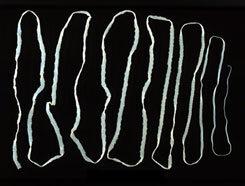 milyen galandférgek vannak féregtabletta az embereknek mellékhatások